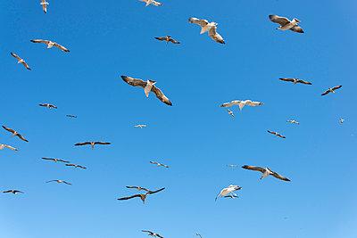 flock of seagulls - p1201m1051234 by Paul Abbitt