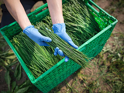 Worker holding freshly cut chives - p429m824294f by Monty Rakusen
