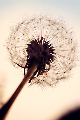 Dandelion clock close-up - p879m1477237 by nico