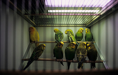 Budgies in a cage - p2360744 by tranquillium