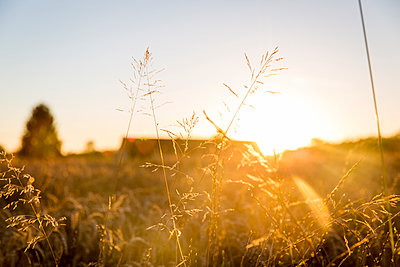 Gräser im Abendlicht - p756m1181651 von Bénédicte Lassalle