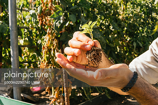 Young man holding tomato plant in garden during sunny day - p300m2290740 by Mar