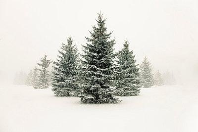 Trees in snowy landscape - p429m664750 by Hugh Whitaker