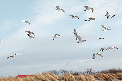 Seagulls in flight - p4380061 by Laura Petermann