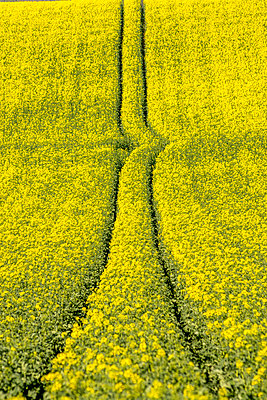 Tire tracks in rape field in France - p813m1424596 by B.Jaubert