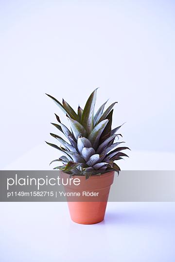 Ananas anpflanzen - p1149m1582715 von Yvonne Röder