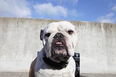 English bulldog with ghettoblaster - p0452922 by Jasmin Sander