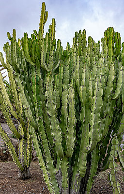 Euphorbia canariensis - p1684m2272091 by Klaus Ohlenschlaeger