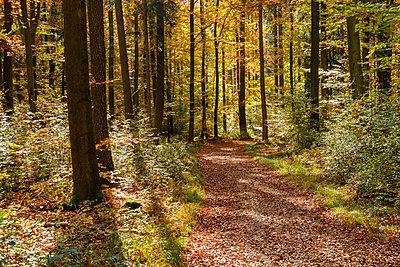 Germany, Bavaria, Lower Bavaria, near Kelheim, Weltenburger Enge, forest path in autumn - p300m1549703 by Martin Siepmann