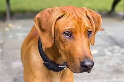 Ridgeback puppy - p739m1034155 by Baertels