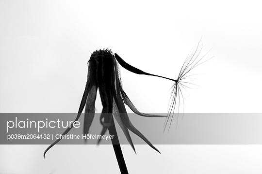 Pusteblume - p039m2064132 von Christine Höfelmeyer
