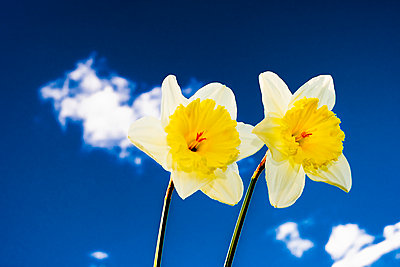 Two yellow daffodil flowers set against a deep blue sky with white clouds - p1057m2086626 by Stephen Shepherd