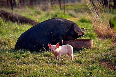 Sow at trough with piglet in field - p1125m2073237 by jonlove