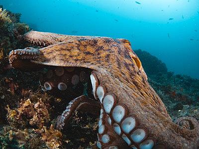 Octopus vulgaris - p1166m2130284 by Cavan Images