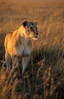 Nationalpark in Kenia - p3300397 von Harald Braun