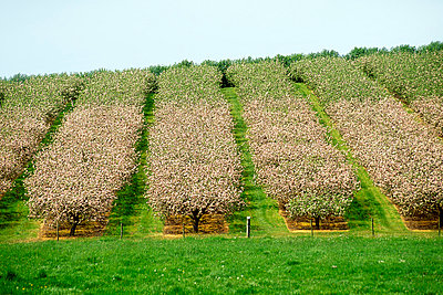 Apple orchard in blossom, County Armagh, Ireland - p4425428f by Design Pics