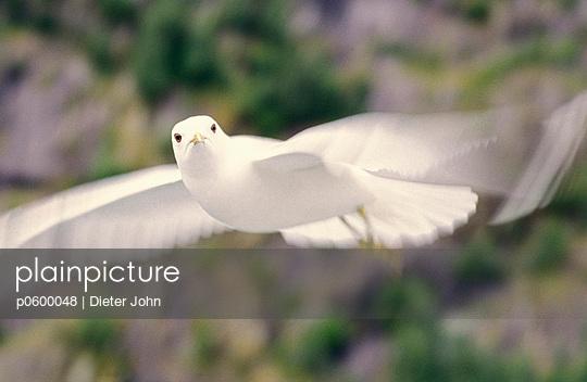 White dove - p0600048 by Dieter John