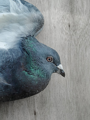 Pigeon, portrait, close-up - p1280m2291204 by Dave Wall