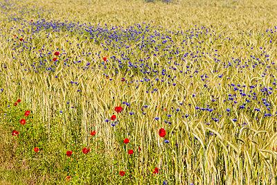 Germany, Hesse, Corn poppy with cornflower - p300m2207374 by Stephan Rech
