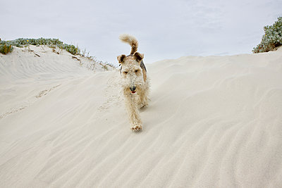 South Africa, Dog in the dunes - p1640m2242083 by Holly & John