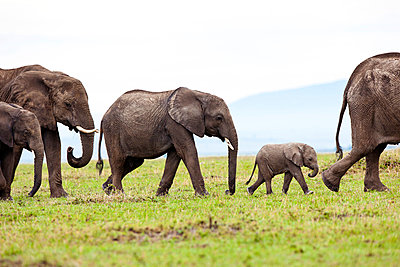 Elephant family - p533m899134 by Böhm Monika