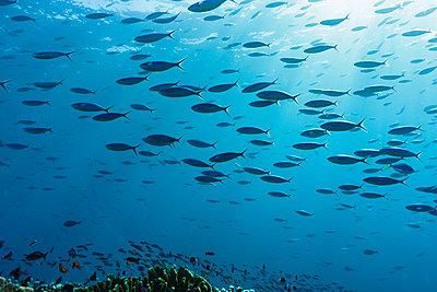 School of tropical fish swimming underwater in blue ocean, Vava'u, Tonga, Pacific Ocean - p1023m2024411 by Martin Barraud