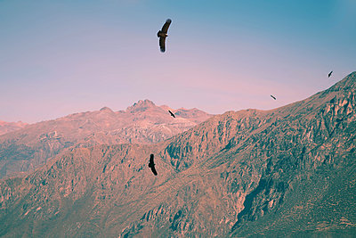 Kondor über dem Colca Canyon - p1038m1563957 von BlueHouseProject