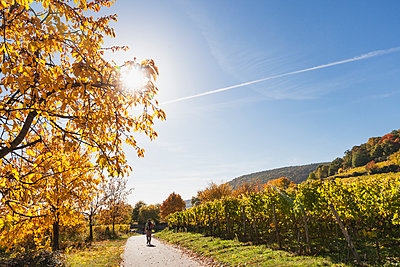 Germany, Rhineland Palatinate, Pfalz, hiker on wine-route-hiking-trail, vineyards and cherry trees in autumn colours - p300m2042055 by Gaby Wojciech