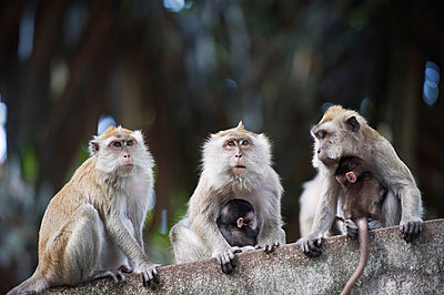 Macaque monkeys in Lake Gardens, Kuala Lumpur, Malaysia, Southeast Asia, Asia - p8711590 by Christian Kober