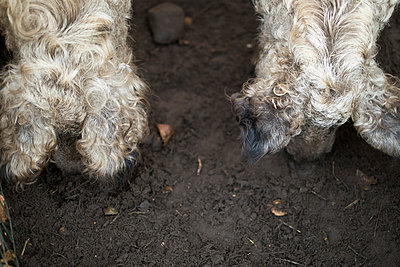Zwei Wollschweine - p989m940078 von Gine Seitz