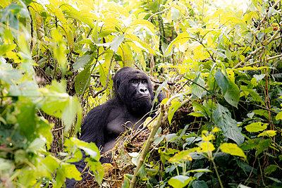 Africa, Democratic Republic of Congo, Mountain gorilla in jungle - p300m2005436 by realitybites
