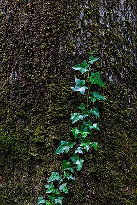 Cilmbing plant on a tree - p778m2037556 by Denis Dalmasso