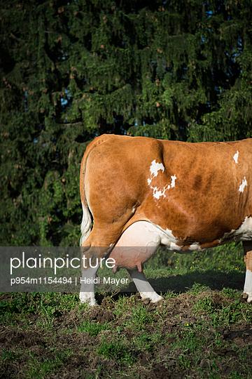 Milchkuh - p954m1154494 von Heidi Mayer