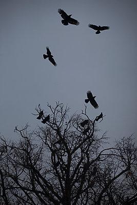 Crows - p1028m1502309 von Jean Marmeisse