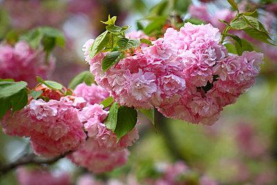 Cherry blossoms - p5149203f by Masahiro Nakano