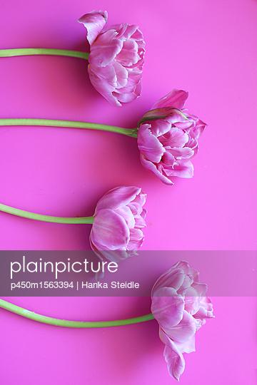 Vier Tulpen auf pinkem Hintergrund     - p450m1563394 von Hanka Steidle