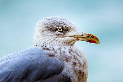 Gull - p1501m2141695 by Alexander Sommer