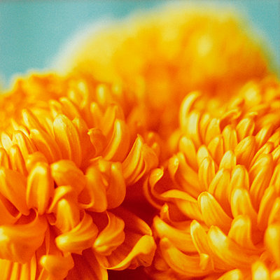 Chrysanthemum - p2872361 by Ralf Mohr