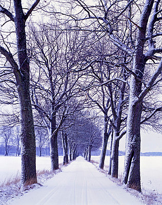 Bare trees along a snow covered road, Sweden - p3483777 by Michael Lander