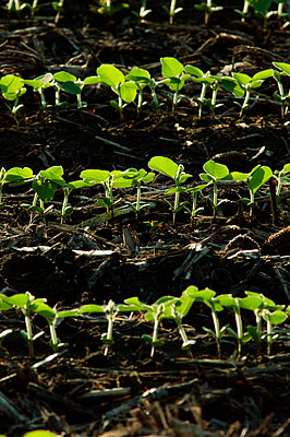 Agriculture - Rows of soybean seedlings backlit by early morning light / near Truman, Minnesota, USA. - p442m1006233 by Thomas Dodge