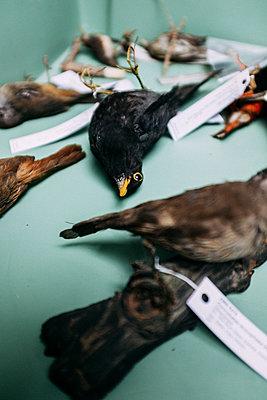 Vogelpräparate in einer Kiste - p795m2187224 von JanJasperKlein