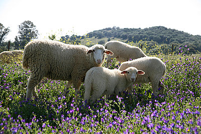 Sheep on a meadow - p3170246 by Nina Steul