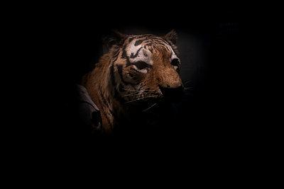Portrait of tiger at twilight - p945m2178264 by aurelia frey