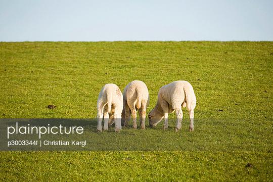 Lambs on pasture, close-up