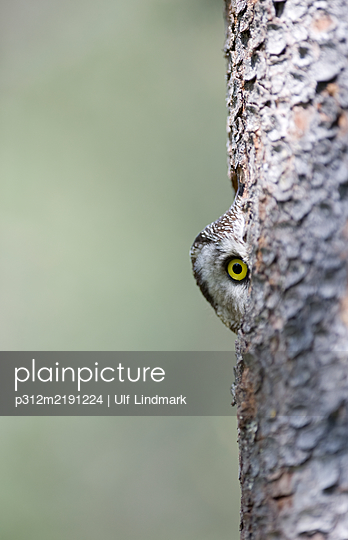 Owl looking at camera - p312m2191224 by Ulf Lindmark