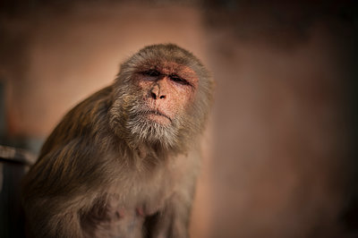 Grandpa monkey - p1007m1059913 by Tilby Vattard
