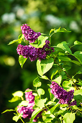 Purple lilacs in blossom - p1418m1572141 by Jan Håkan Dahlström