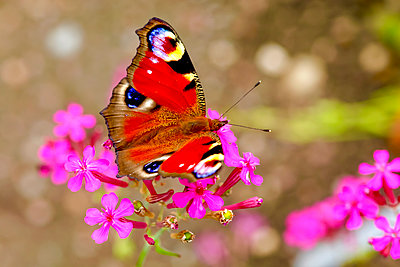Peacock butterfly on blossom, Inachis Io - p300m2029535 by Thomas Jäger
