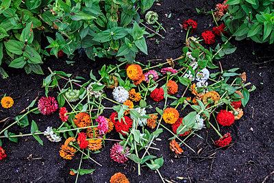 Weggeworfene Schnittblumen - p417m852680 von Pat Meise