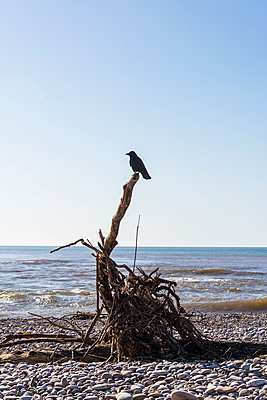 Crow perched on driftwood - p1170m1137542 by Bjanka Kadic